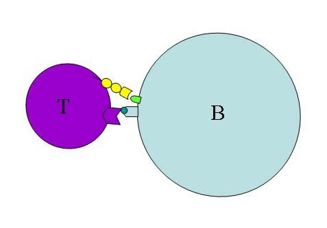 B- en T-cel