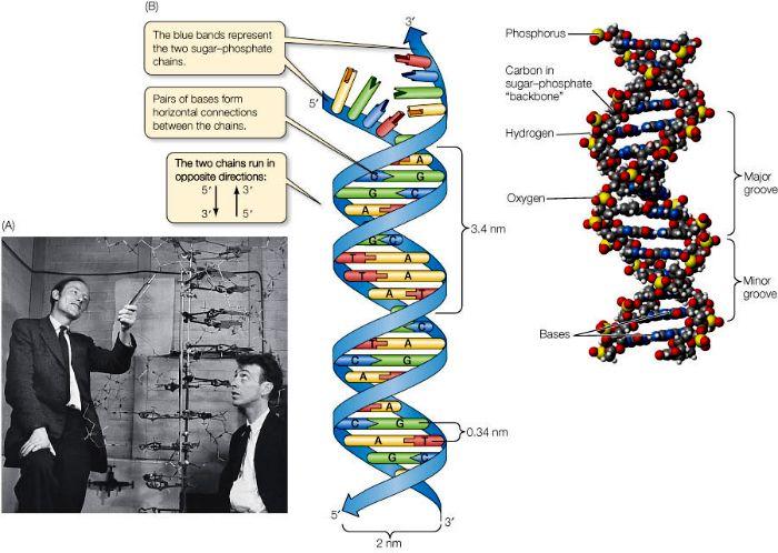 DNA structuur