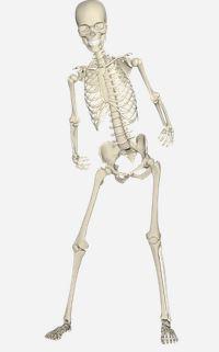 het skelet en onze botten